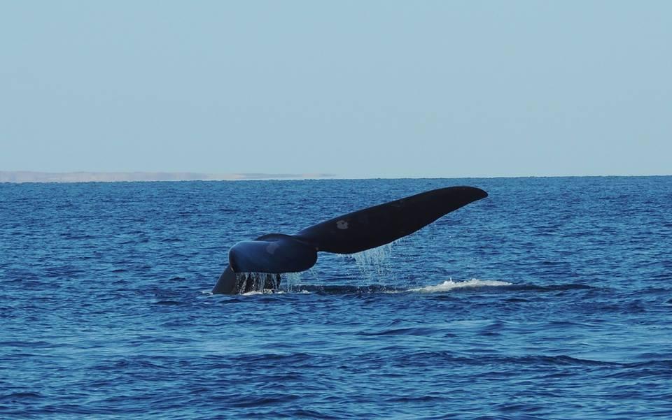 Et si vous adoptiez une baleine?