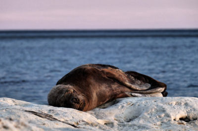 Lions de mer en Patagonie