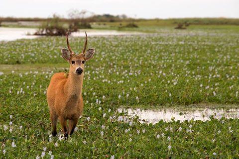 ciervo de los pantanos dans la réserve d'Otamendi