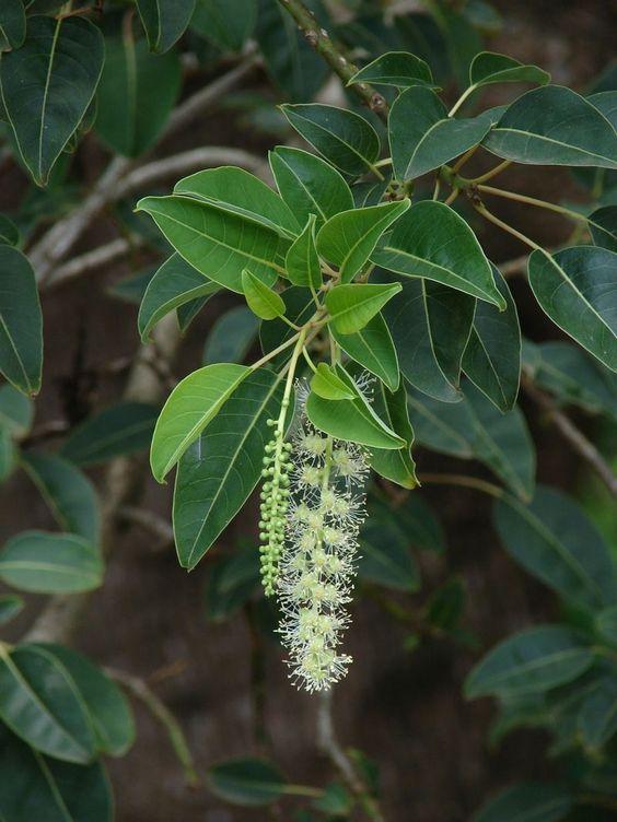 fleur de l'ombú