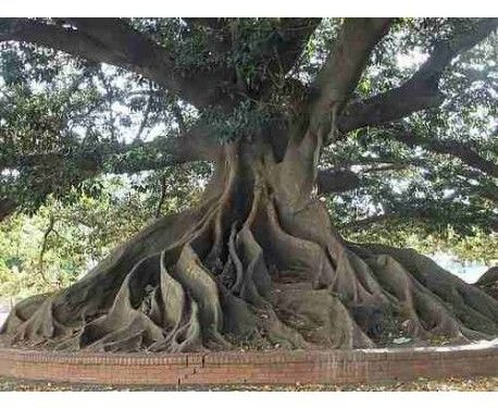 Ombú, l'arbre de la pampa