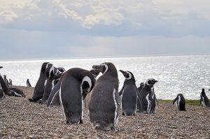 manchots magellan patagonie