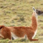 Notre ami le lama et ses cousins