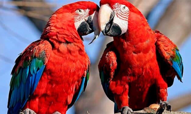 Trois aras sont nés à Iberá, 150 ans après leur extinction!